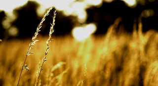 Bigstock-Wheat-at-sunset-25351094