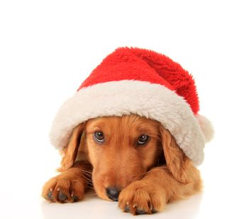 Bigstock-Christmas-puppy-wearing-a-Sant-52567264