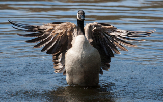 Bigstock-Canadian-Goose-Flapping-Wings--59039375