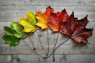 Bigstock-Autumn-Maple-leaf-transition-a-141686753